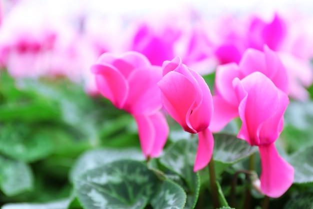 Winterblumen: alpenveilchenblüten im gewächshaus, nahaufnahme