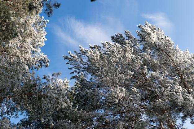 Winterfoto des blauen himmels, umgeben von den baumwipfeln