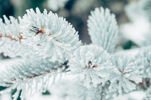 Winterfrost weihnachts immergrüner baumhintergrund