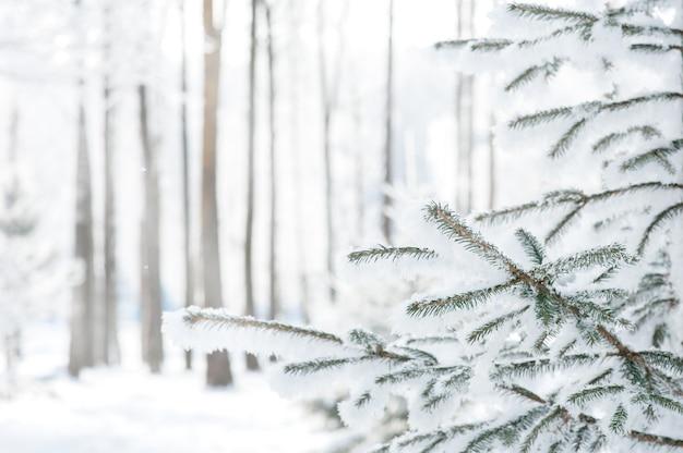 Winterhell mit einem fichtenzweig in der kälte. schneebedeckte tannenzweige.