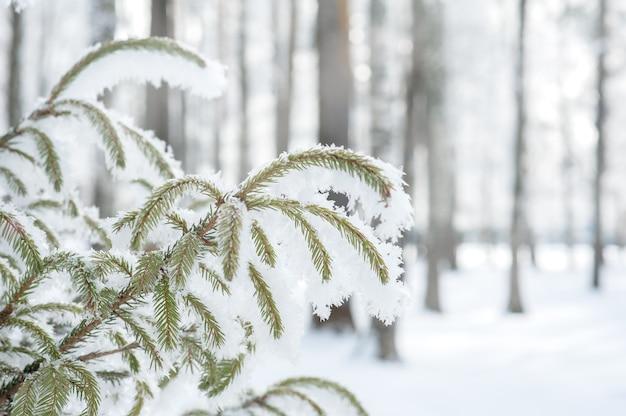 Winterhell mit tannenzweigen im frost. fichte zweige mit schnee bedeckt.