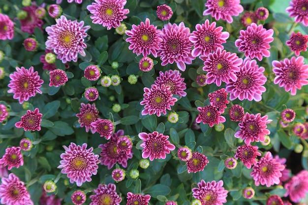 Winterhintergrund der chrysantheme