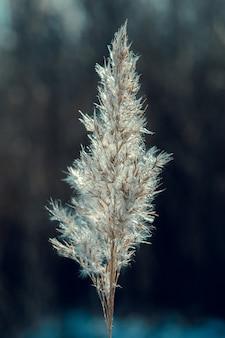 Winterkomposition auf dunklem hintergrund. trockene pflanze, ohren, gras. selektiver fokus