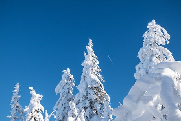 Winterlandschaft. die spitzen schneebedeckter bäume im kalten, klaren polarwinter
