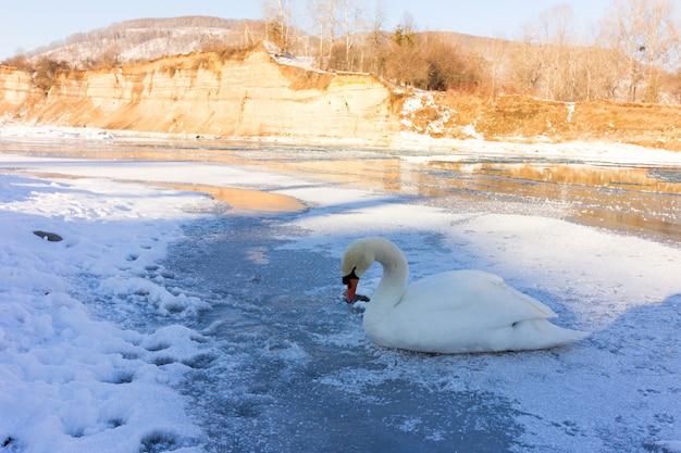 Winterlandschaft, ein einsamer weißer schwan auf einem gefrorenen fluss