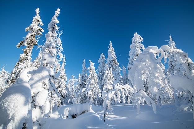 Winterlandschaft. ein märchen mit gefrorenen schneebedeckten bäumen im kalten polarwinter