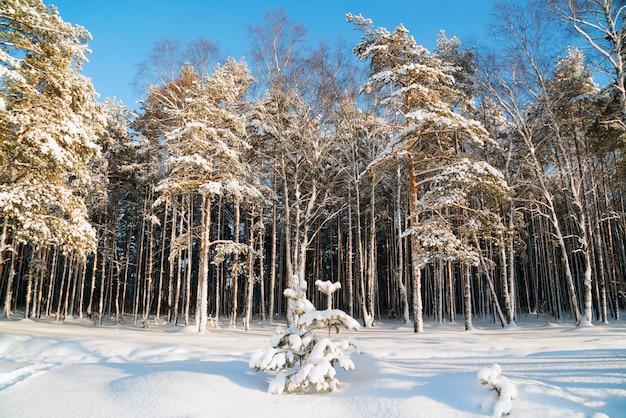 Winterlandschaft in einem schneebedeckten wald. russland.leningrader gebiet.