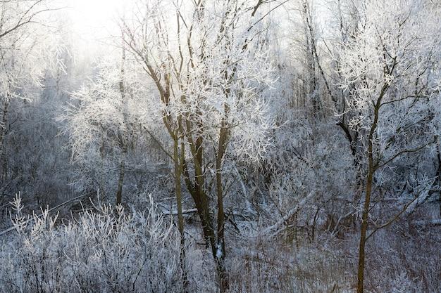 Winterlandschaft mit laubbäumen, die von hinten von sonnenlicht beleuchtet werden, zweige von pflanzen, die nach frost mit weißem frost bedeckt sind