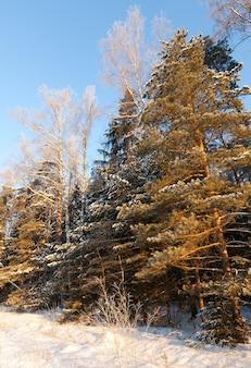 Winterliche landschaft mit pinien
