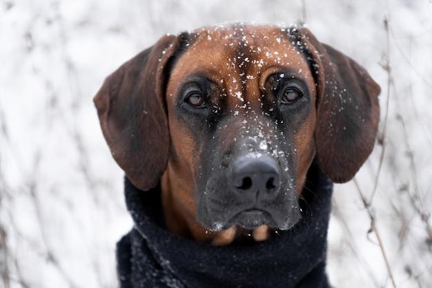 Winterporträt des braunen hundes rhodesian ridgeback mit schneewittchenhintergrund