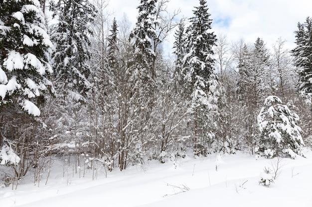 Wintersaison im wald, mischwald mit fichte in der wintersaison im schnee