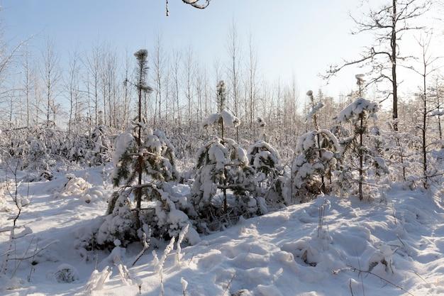 Wintersaison mit schnee im park oder wald, kaltes winterwetter im park oder wald bei frösten, laubbäume ohne blätter in der wintersaison