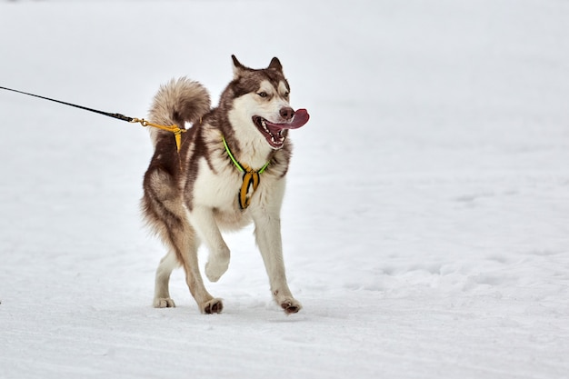 Winterschlittenhunderennen in den bergen