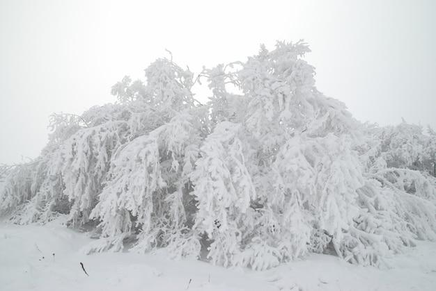Winterschneewald und schöne weiße bäume im schnee