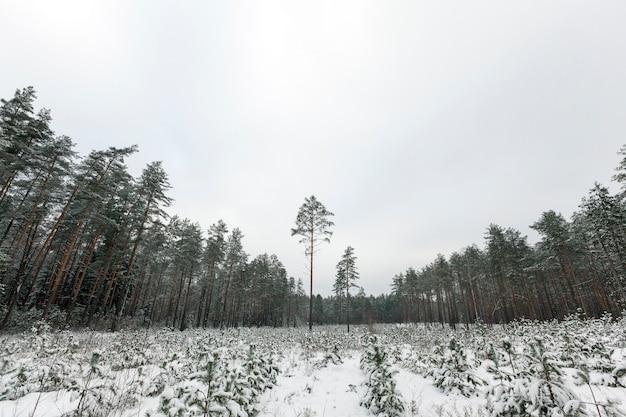 Winterwald, in dem kiefern abgeholzt werden und mehrere wachsen, einer hoch mitten im ödland, die landschaft