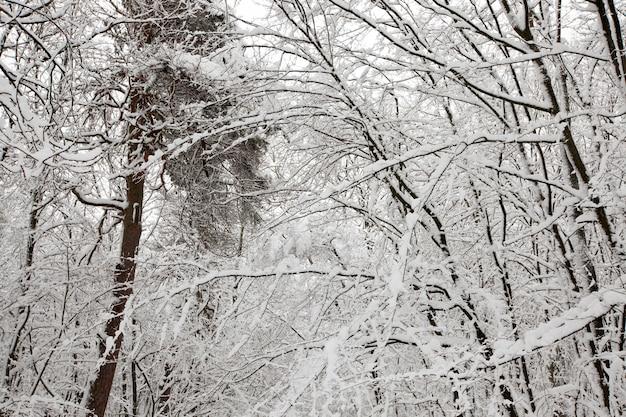 Winterwald mit bäumen ohne laub, bedeckt mit schnee und eiswald in der wintersaison