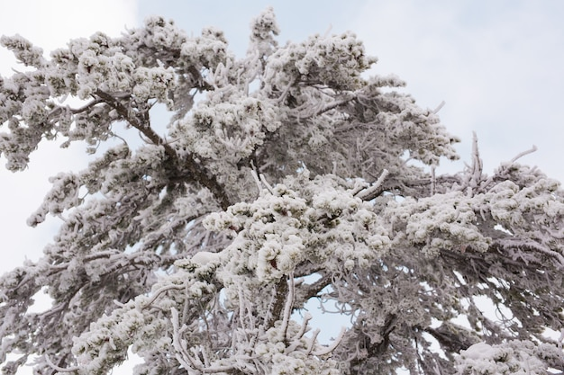 Winterwald mit schnee auf bäumen