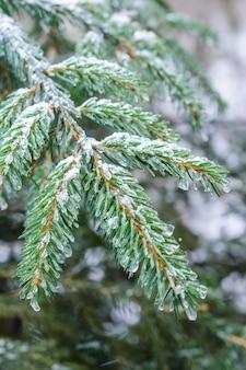 Winterwald, schneebedeckte fichtenzweige. die gefrorenen eiströpfchen auf fichtennadeln.