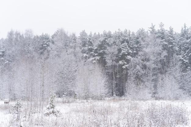 Winterwaldlandschaft. hohe bäume unter schneedecke. januar frostiger tag im park.