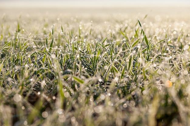 Winterweizen mit eiskristallen und frost im winter bedeckt