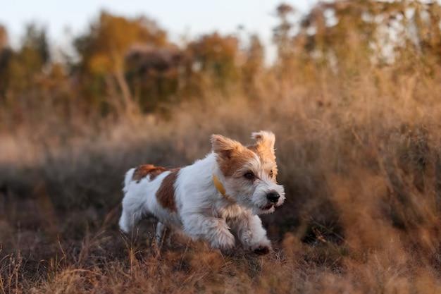 Wirehaired jack russell terrier welpe läuft in einem herbstfeld