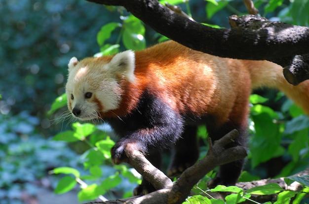 Wirklich süßer roter pandabär in den bäumen.