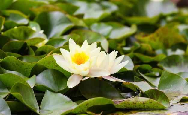 Witte nymphaeaceae