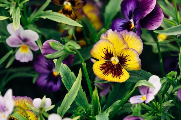 Wittrockiana. stiefmütterchen. gelbe violette nahaufnahme des gartens.
