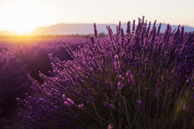 Wohlriechender lavendel blüht bei schönem sonnenaufgang, valensole, provence, frankreich