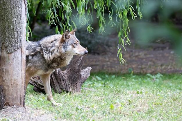 Wolf auf einer lichtung
