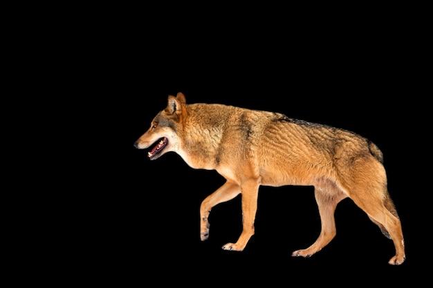 Wolf auf schwarzem hintergrund