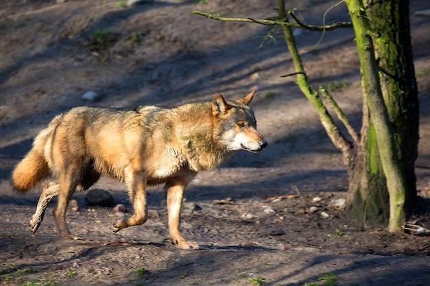 Wolf im wald auf der flucht