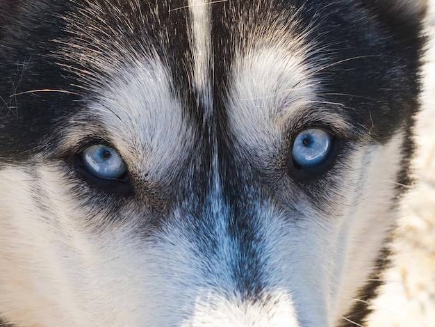 Wolfsaugen siberian huskie