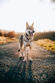 Wolfshund mit einem epischen sonnenunterganghintergrund
