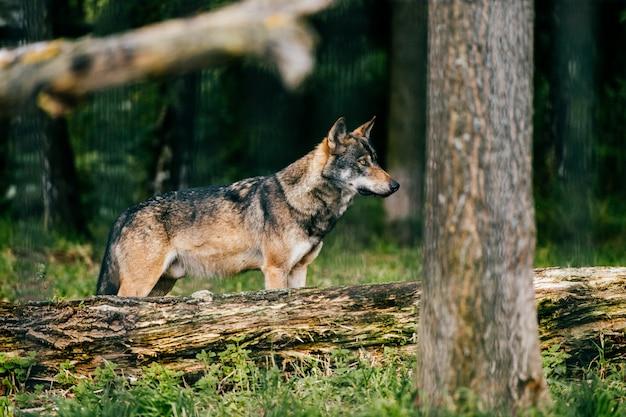 Wolfsporträt im freien. wildes fleischfresser-raubtier an der natur nach der jagd.