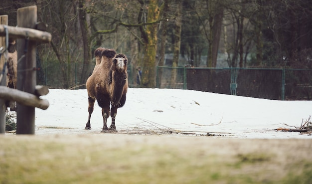 Wollbaktrisches kamel, das auf schneebedecktem boden geht