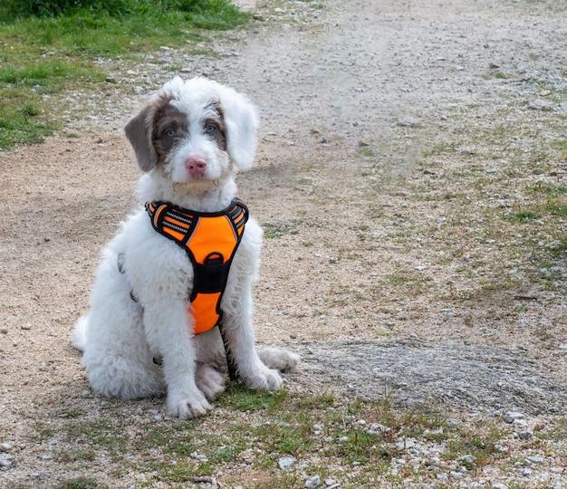 Wolliger weißer welpe, der auf einem weg im wald sitzt. weißer welpe mit flecken im gesicht mit orangefarbenem geschirr.