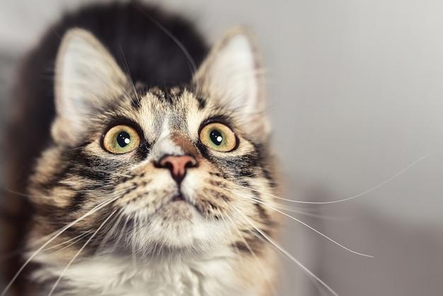 Wow emotionskonzept porträt einer schönen sibirischen katze, die genau hinschaut.