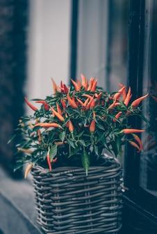 Würziger roter pfeffer in einem topf wächst draußen