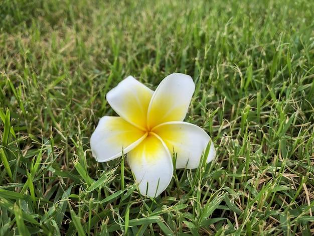 Wüstenrosenblume auf dem boden