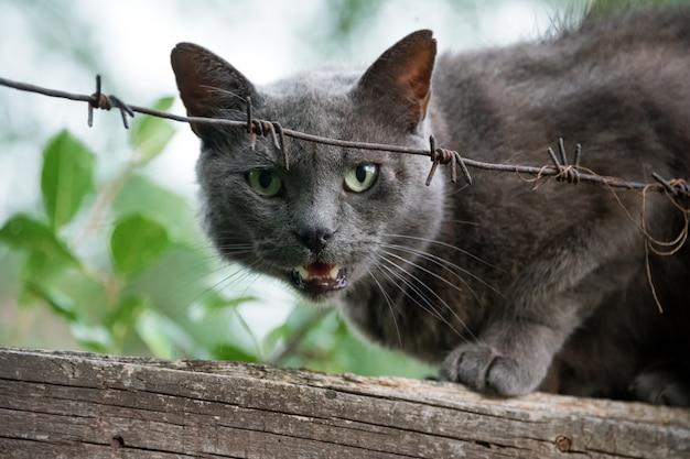 Wütende katze knurrt, die auf zaun hinter stacheldraht sitzt. aggressive graue katze, die sein territorium verteidigt.