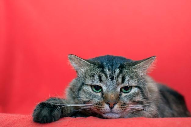 Wütende katze. speicherplatz kopieren. wütende flauschige graue katze, die auf der couch liegt.