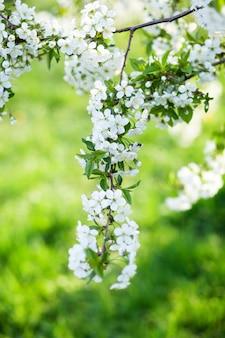 Wunderschön blühender ast kirsche mit weißen frühlingsblumen.