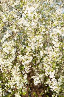 Wunderschön blühender astapfel. blühende äste kirsche mit natürlicher wand der weißen blumen. abstrakte frühlingsblumenwand. frühlingsblumen. ostern. allergiesaison. frühlingskonzept