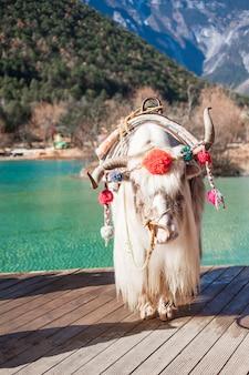 Wunderschön von yak im blue moon valley, wahrzeichen und beliebter ort für touristenattraktionen in der malerischen gegend des jade dragon snow mountain (yulong) in der nähe der altstadt von lijiang. lijiang, yunnan, china.