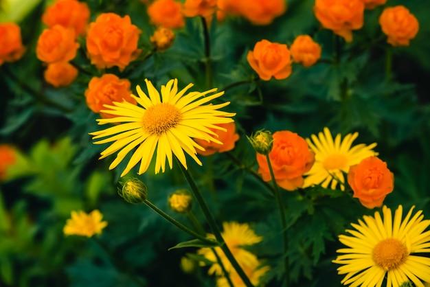 Wunderschöne arnika wächst aus warmen globeflowers