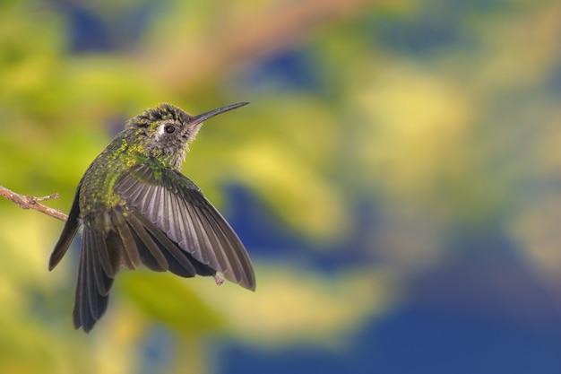 Wunderschöne aufnahme eines winzigen grünen kolibri, der mit gelben blumen im hintergrund mit den flügeln schlägt