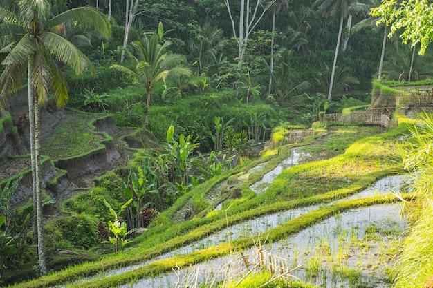Wunderschöne landschaft mit grünen pflanzen, die zwischen bio-reisterrassen auf der exotischen insel wachsen