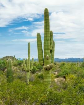 Wunderschöne landschaft mit verschiedenen kakteen und wildblumen in der sonora-wüste außerhalb von tucson, arizona