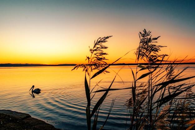 Wunderschöne landschaft von phragmites-pflanzen am meer mit einem schwimmenden pelikan bei sonnenuntergang